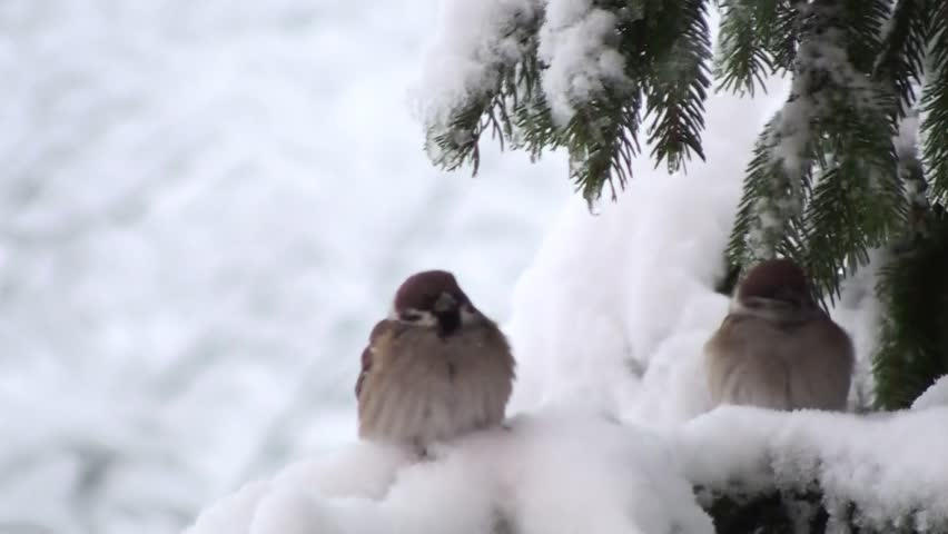 Birds on snow tree branches at cold winter day | Shutterstock HD Video #21495775