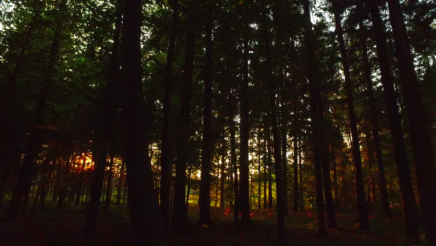 Last sun rays in deep spruce forest. Not so early autumn time in the afternoon. orange sun rays in deep forest. | Shutterstock HD Video #21563443