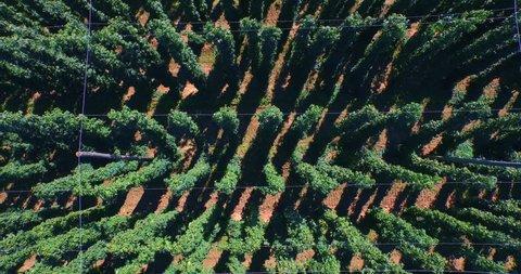 looking down at hop plants while camera rises up - aerial shot. Germany, Bavaria