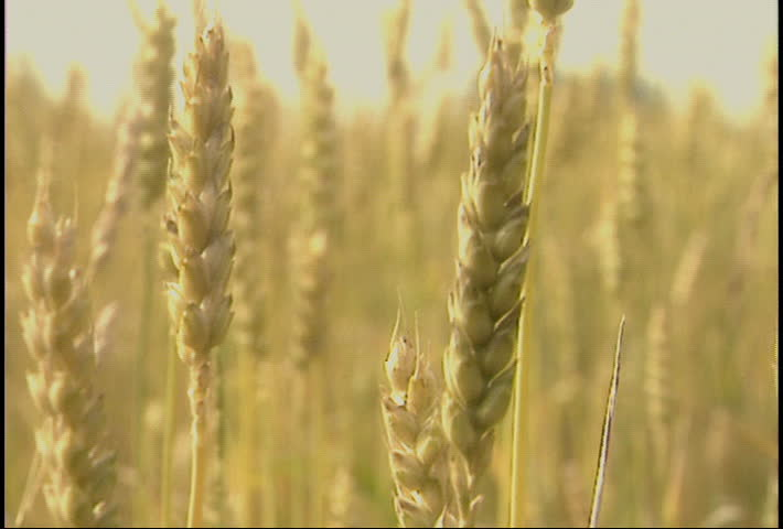 Close up of wheat swaying in the breeze. Related clip #21620