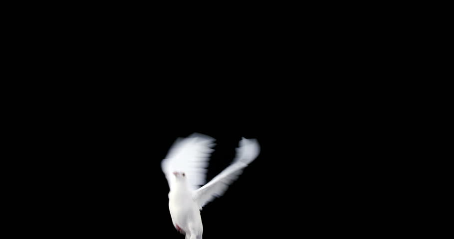 White dove bird flying against black background
