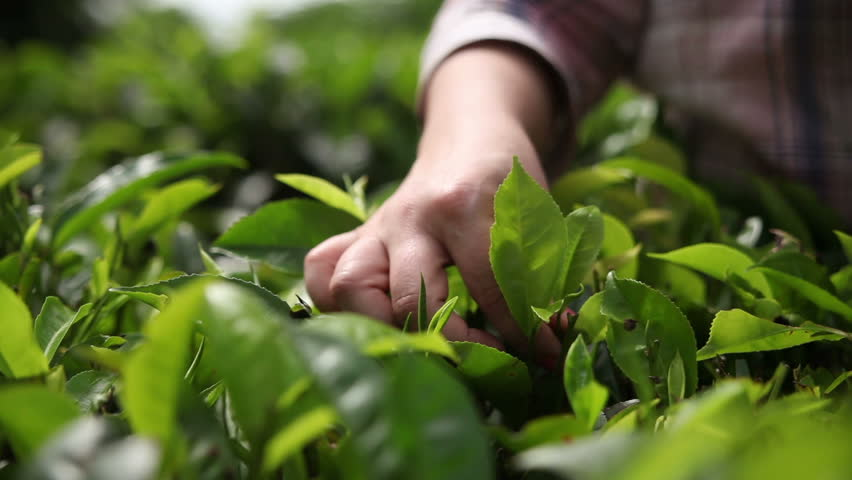 People harvest green tea bush