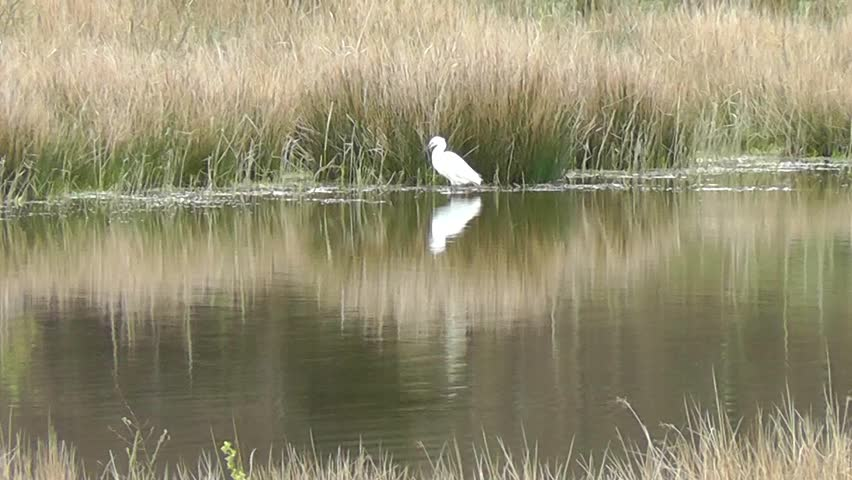 Little Egret shuffling feet to disturb small fish, then stalks to ambush prey