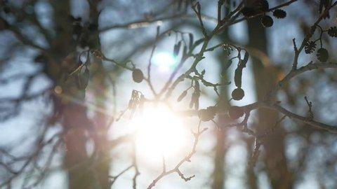 alder tree branch buds swaying in wind spring nature offensive landscape