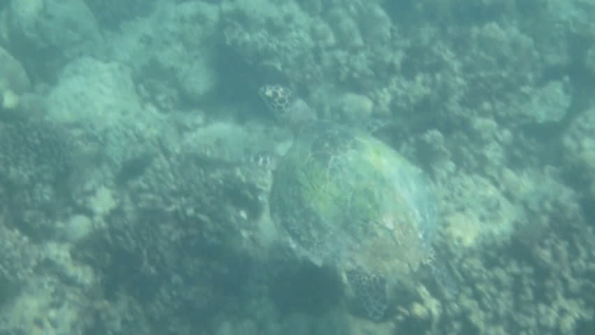 Beautiful Loggerhead sea turtle swimming through the coral reefs of the Indian Ocean around Seychelles islands