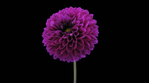 Time-lapse of blooming purple dahlia flower 3a4 in 4K PNG+ format with ALPHA transparency channel isolated on black background