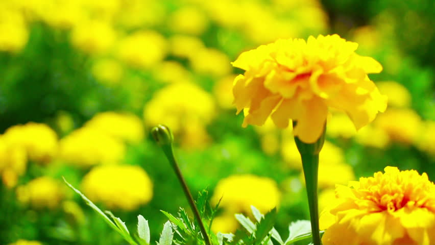 A Field Of Yellow Marigold Stock Footage Video 100 Royalty Free