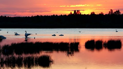 Swans on a lake at dawn. Whooper swan song.