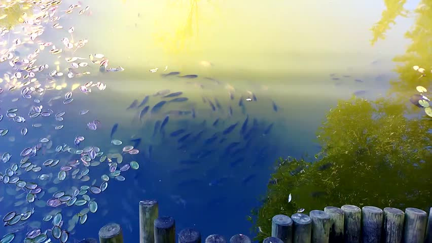 Fish swim in the pond in a circle | Shutterstock HD Video #21997273
