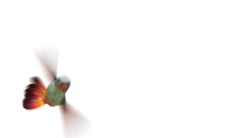 Humming bird, four 3d animations. alpha-channel is integrated into the footage, you can easily change the background. copy bird layer if you want to make the wings more sharp | Shutterstock HD Video #22020793