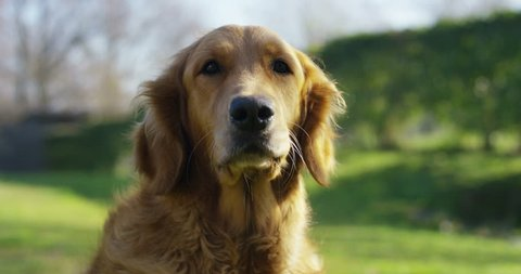 Portrait of a beautiful Golden Retriever dog with a pedigree and a good coat just brushed.. The dog purebred is surrounded by greenery and looks camera.Concept beauty, softness, pedigree.