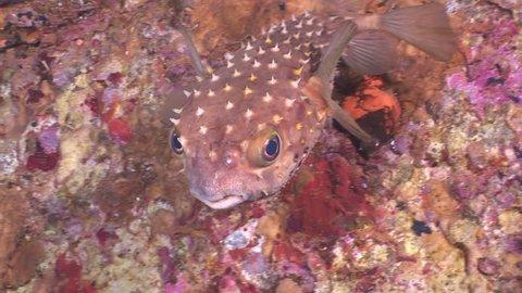 porcupine fish underwater in a shipwreck