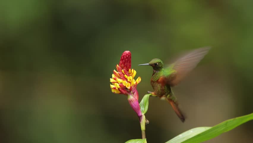 Hummingbird Boissonneaua matthewsii,  Chestnut-breasted Coronet feeding on nectar from red and yellow flower, rainy day. San Isidro area, Ecuador  | Shutterstock HD Video #22166803