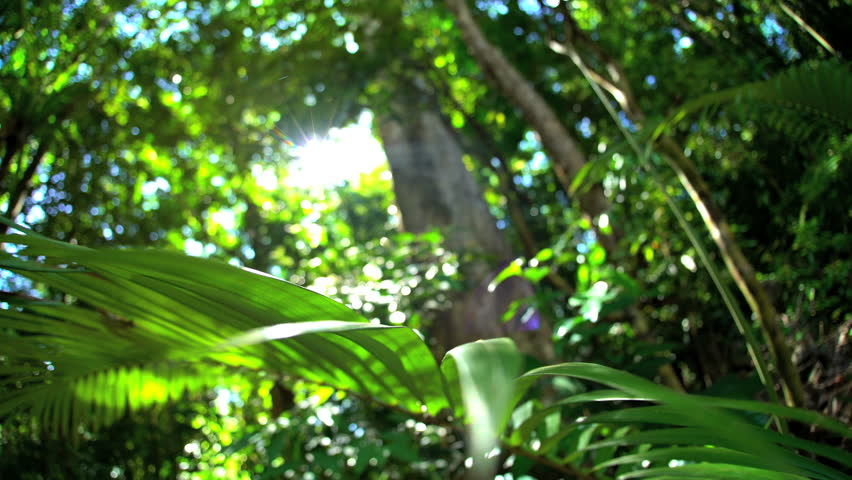 Sun flare through tree canopy and lush green foliage of Daintree Rainforest National Park in Queensland Australia