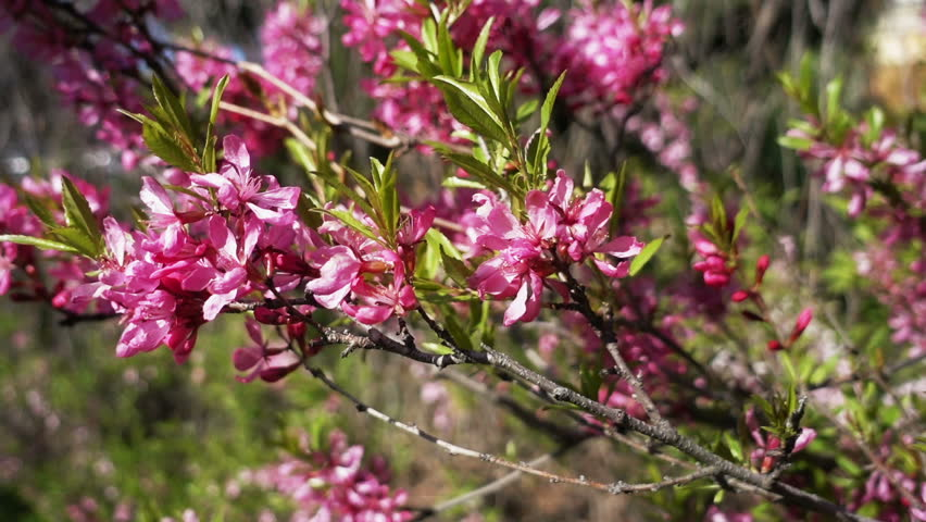 Pink Flowers Of Almond Bush Stock Footage Video 100 Royalty