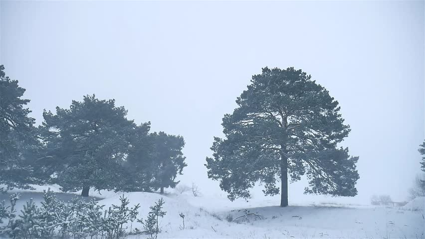 Snowstorm The Woods Snowing Winter Blizzard Nature, Christmas Tree And Pine  Forest Landscape   HD