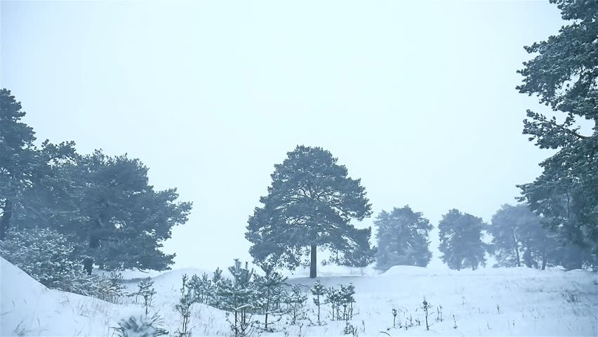 Snowstorm The Woods Snowing Winter Blizzard, Christmas Tree And Pine Nature  Forest Landscape   HD
