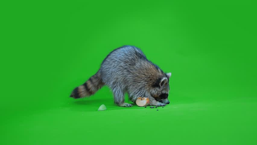 funny raccoon eating an Apple