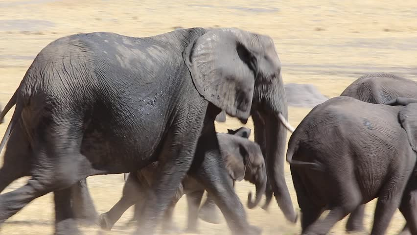 [elephants running in plains of africa]stampede of elephant family