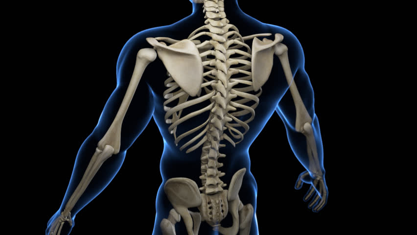 Complete close-up view of the Skeletal System with transparent body in blue and black background. Camera rotation from the top to the bottom, showing all the bones.  Alpha channel included in the mov.