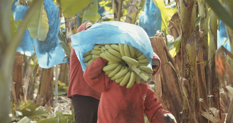 Workers in a banana plantation carrying banana clusters
