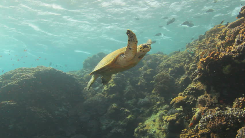 hawksbill turtle swimming on top of the reef