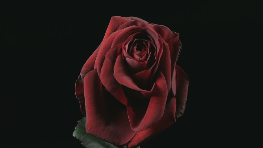 Static medium long close up time lapse shot of a dying red rose against a black background.