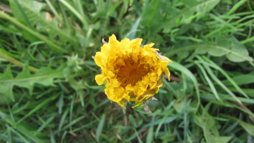 Dandelion opening its blossom - timelapse #2242618