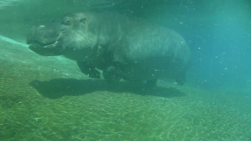 Hippo swimming underwater on sunny day