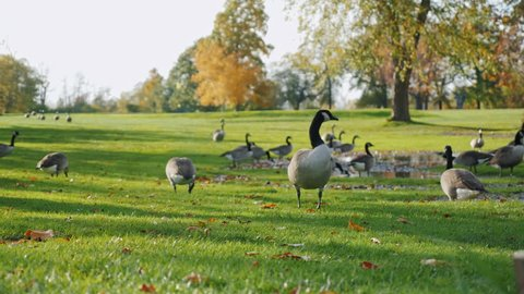 Canada Geese grazing on green meadow. In one of the parks in Buffalo, United States
