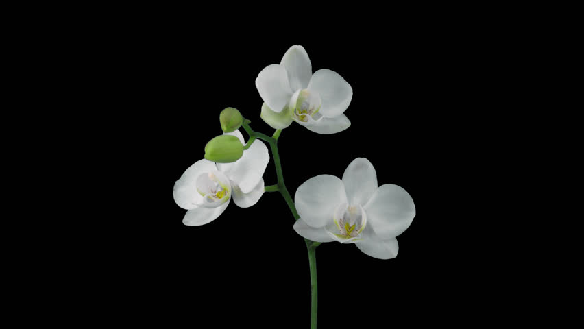 Time-lapse of opening white orchid 12a4 in 4K PNG+ format with ALPHA transparency channel isolated on black background