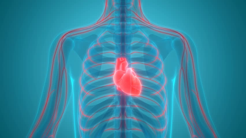 Human Body Organs (Heart with Nervous system Anatomy). 3D