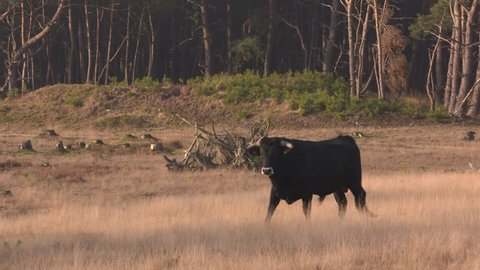 Spanish Sayaguesa cattle - bull with a white stain around the nose - on camera. Restoration of ecosystem with free roaming large herbivores. VELUWE, THE NETHERLANDS - DECEMBER 2016