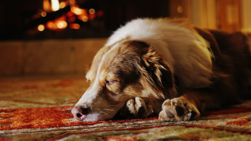 dog lying in a cozy stock footage video 100 royalty free rh shutterstock com Cozy Fireplace with Hot Chocolate Warm and Cozy Fireplace