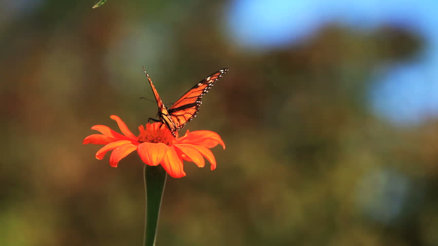 monarch butterfly takes off from a flower
