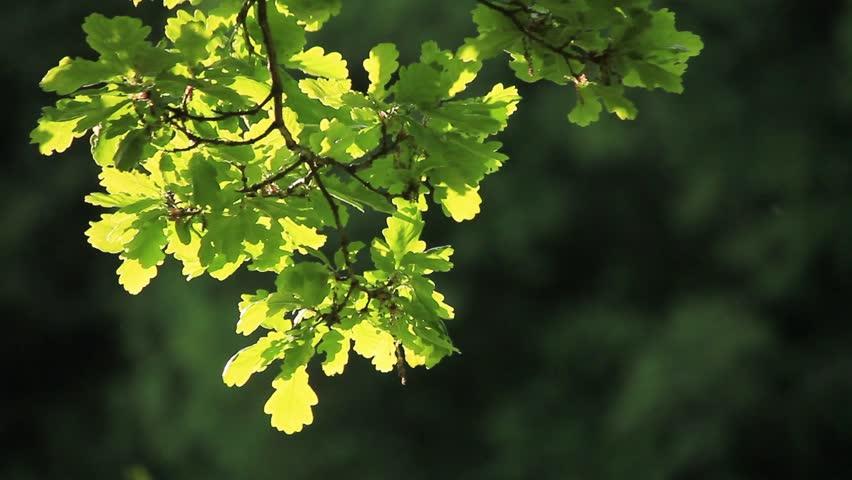 Acorn leaves in spring - Western Switzerland