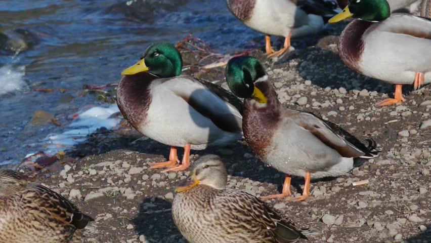 closeup of ducks ding sta except one who cleans the feathers with small waves background