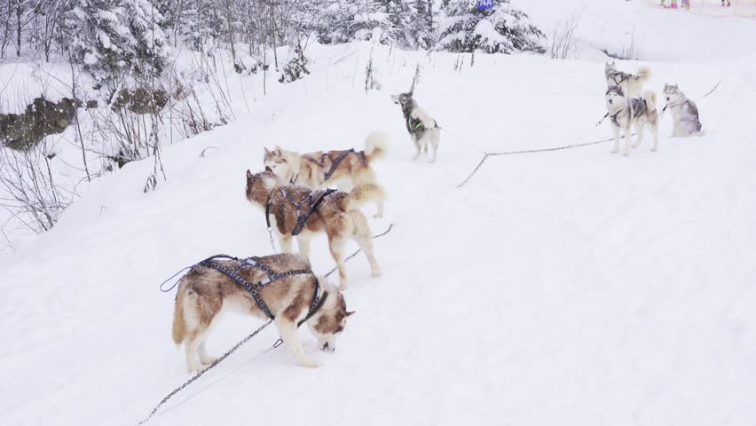 Group of siberian husky waiting for the run | Shutterstock HD Video #22917553