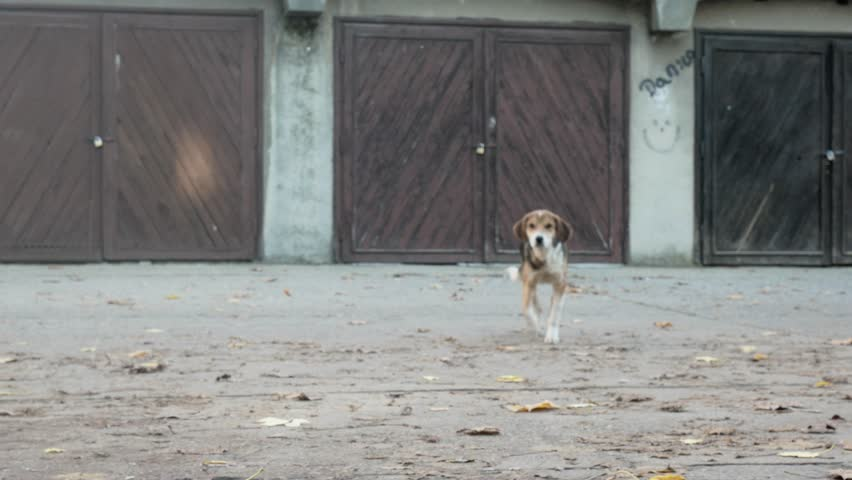 Spotted stray dog comes when called - 4K stock video clip