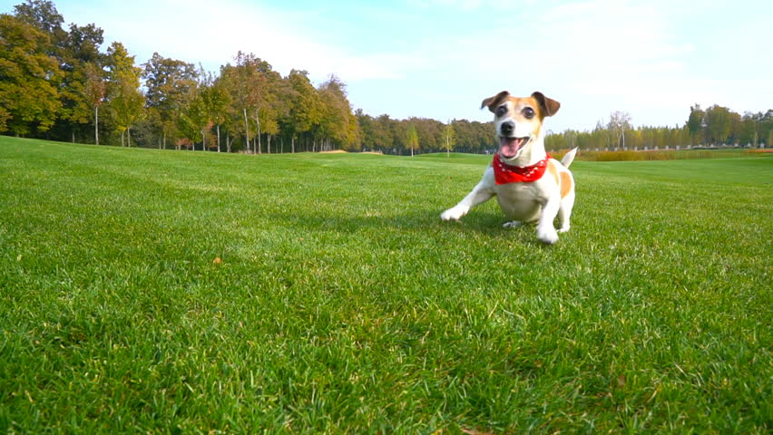 Adorable active crazy dog with fancy fashionable red scarf Kerchief bandana accessory dancing playing the game with tennis ball toy. NAture background. Video footage. Lovely smart pet