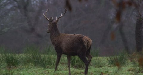 Wild Red Deer Stag walking in forest. Slow Motion.
