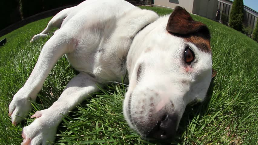 Adorable puppy dog soaking in the sun in the backyard on the grass, doing tricks and being playful.