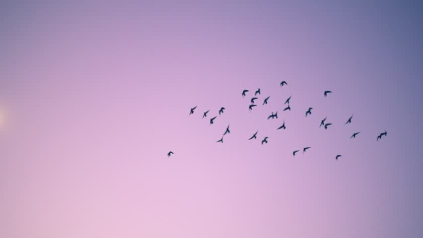 Flock of birds flying over pink sunset sky background. Slow motion.
