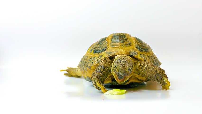 Kleinmann's tortoise. Tortoise eating an apple.