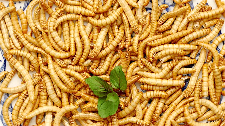 Loop of healthy mealworms rotating on a dish. Mealworms are healthy and tasty. Used in asian kitchens and by enthusiasts in the western world. | Shutterstock HD Video #23074903