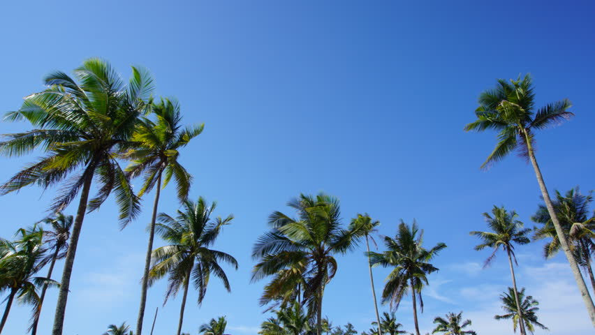A time lapse of coconut trees with the beautiful blue sky background. | Shutterstock HD Video #23084383