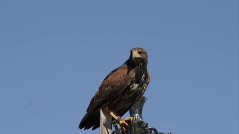 Harris Hawk takes flight from ornamental lamp post