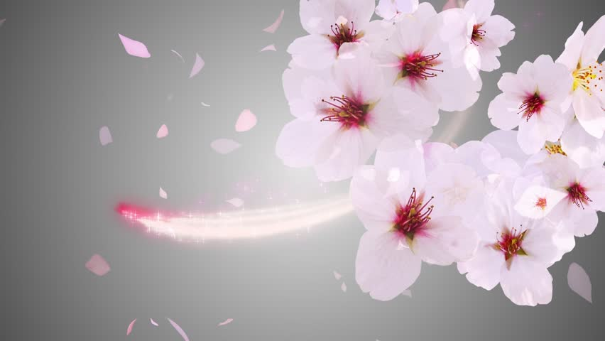 Cherry Blossoms Blooming On the Stock Footage Video (100% Royalty-free)  23228923 | Shutterstock