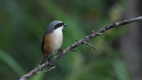 Shrike Birds in Thailand and Southeast Asia.