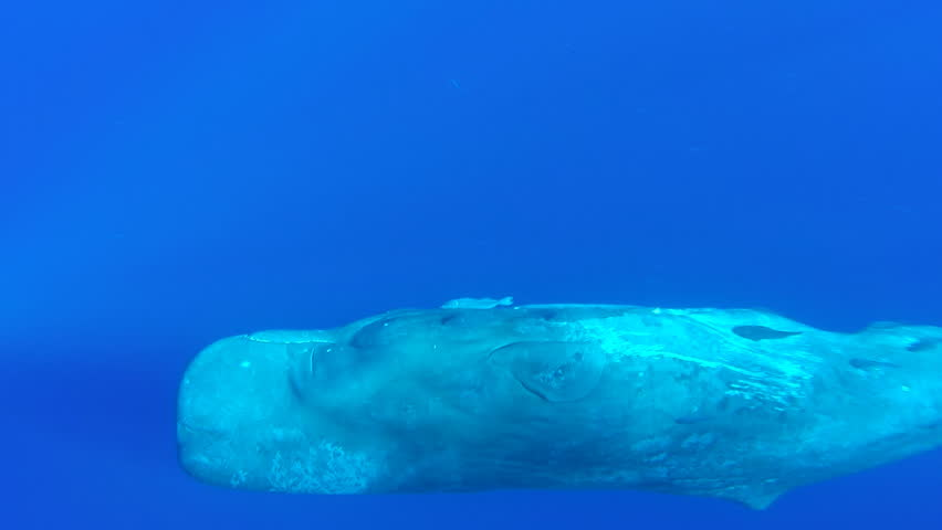 Curious sperm whale calf swims in close and turns to look at us, footage taken in blue water off the north western coast of Mauritius.